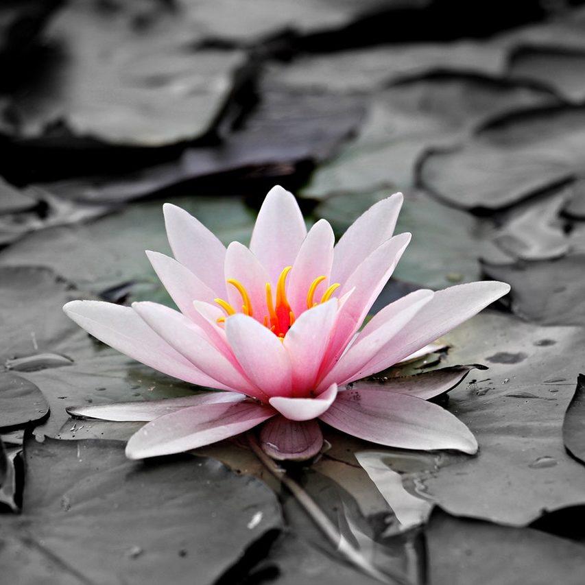 Illustration d'une lotus sur fond gris, pour imager l'alliance reiki et dépression.