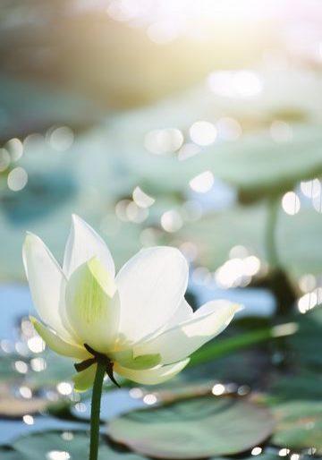 lotus-reduit